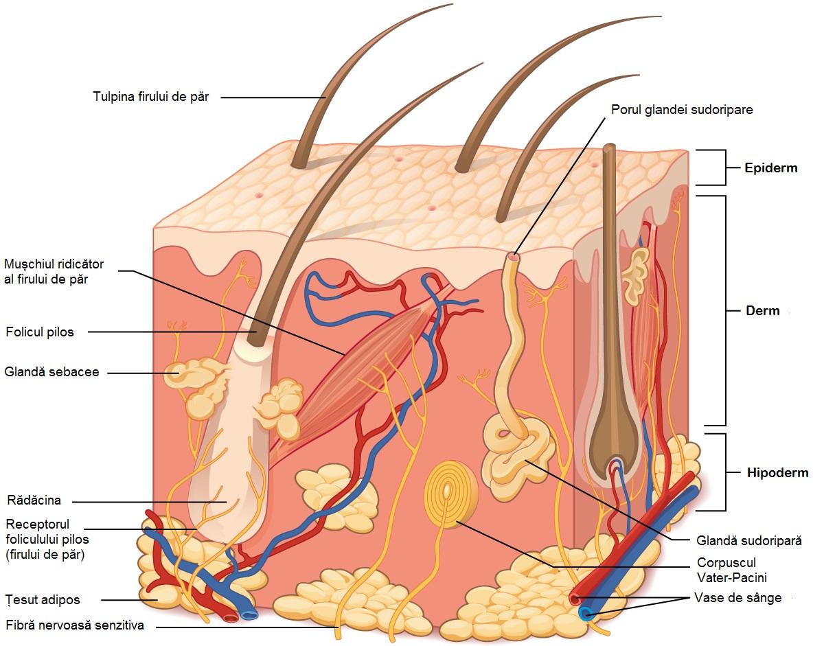 masaj facial acasa - structura piele